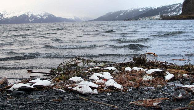 Zehntausende tote Trottellummen sind bereits angeschwemmt worden. (Bild: AP)