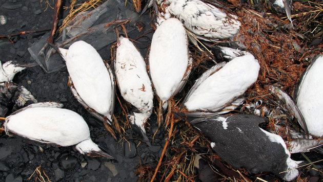 Kadaver vor der K�ste Alaskas (Bild: AP)