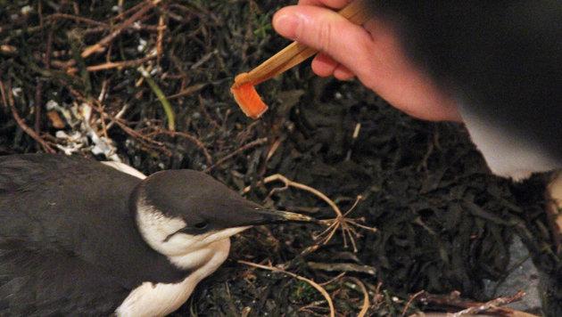 Eine kurz vor dem Verhungern gerettete Trottellumme wird mit Lachs gef�ttert. (Bild: AP)