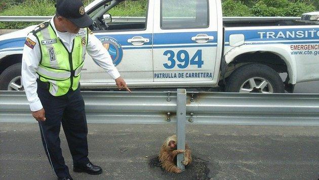 Bei der Fahrt schnell zu übersehen: Das Faultier war inmitten der Straße gefangen. (Bild: Comisión de Tránsito del Ecuador)