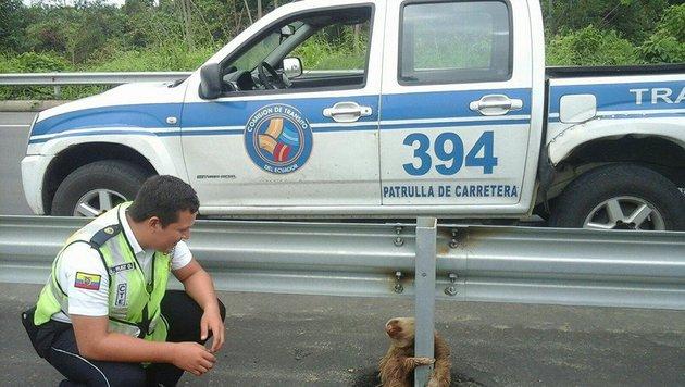 Der erste vorsichtige Kontakt mit dem verirrten Wildtier (Bild: Comisión de Tránsito del Ecuador)