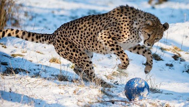 Schönbrunner Geparden spielen Ball im Schnee (Bild: Daniel Zupanc)