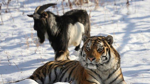 Amur und Timur in glücklicheren Tagen (Bild: APA/AFP/PRIMORYE SAFARI-PARK/DMITRY MEZENTSEV)