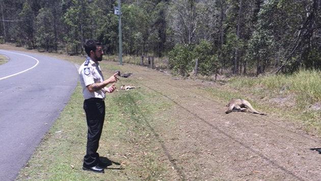 17 Kängurus hat der unbekannte Fahrer auf dem Gewissen. (Bild: AP)