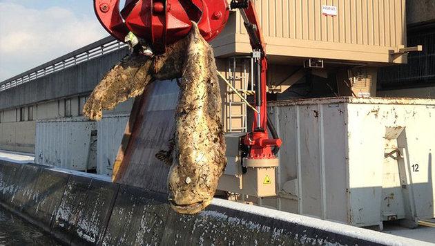 2,25 Meter lang: Kapitaler Wels aus Donau gefischt (Bild: Verbund)