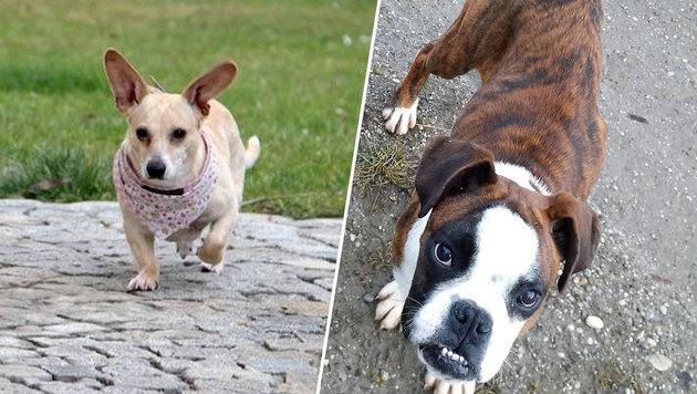 """""""Bacon"""" (links) und """"Trude"""" (rechts) suchen beide """"ihre"""" Menschen. (Bild: zVg)"""