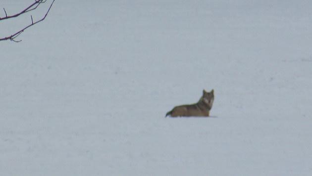 Junger Wolf auf Bundesheer-Areal in NÖ gesichtet (Bild: Polizei)