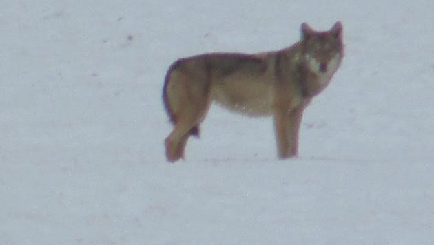 Ob der Wolf am Bundesheer-Areal bereits Wild gerissen hat, wird untersucht. (Bild: Polizei)