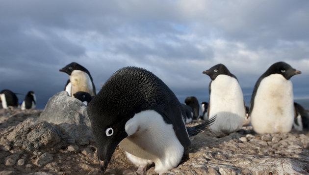 Eisberg versperrte 150.000 Pinguinen den Heimweg (Bild: BBC Worldwide Ltd/Jeff Wilson)