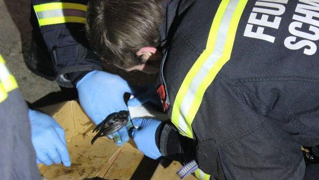 Der abgestürzte Piepmatz kämpfte ums Leben - die Feuerwehrmänner waren prompt zur Stelle. (Bild: FF Schwechat)