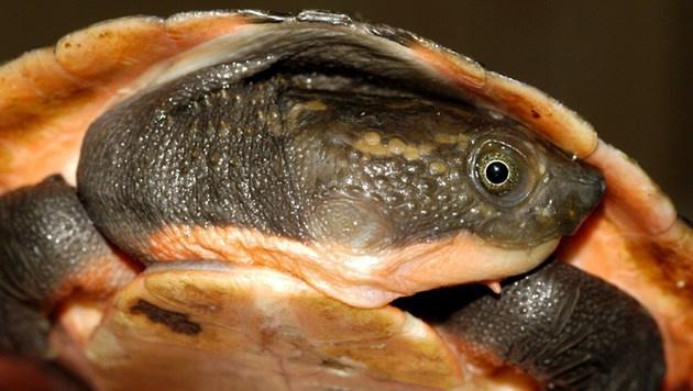Neue Schildkröten-Art in Papua-Neuguinea entdeckt (Bild: APA/AFP/EXXONMOBIL PNG/STR)