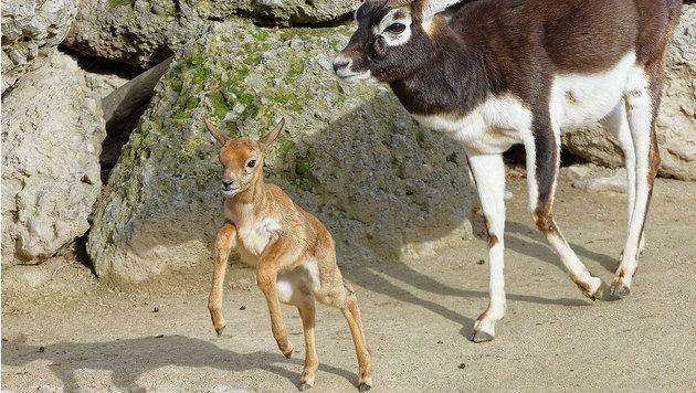 Die kleine Hirschziegenantilope tollt bereits durch das Gehege. (Bild: APA/TIERGARTEN SCHÖNBRUNN/NORBERT POTENSKY)