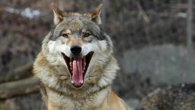 Der Wolf kommt wieder - das steht fest. (Bild: Christof Birbaumer)