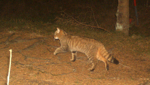 Diese Wildkatze tappte im Mühlviertel in eine Luchs-Fotofalle. (Bild: Luchsprojekt/Thomas Englede)