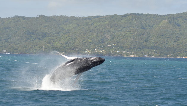 Schiffslärm stört Buckelwale bei der Nahrungssuche (Bild: walflüsterer.de)