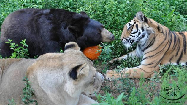 USA: Tiger, Bär und Löwe sind unzertrennlich (Bild: Noah's Ark Animal Sanctuary)