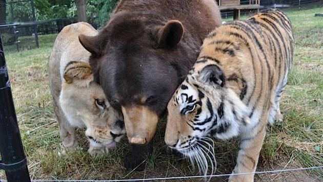 'The BLT': Leo, Baloo und Shere Khan (Bild: Noah's Ark Animal Sanctuary)