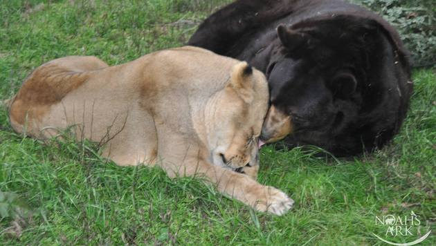 Schmusestunde bei Leo und Baloo (Bild: Noah's Ark Animal Sanctuary)