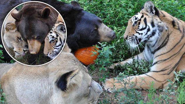 """USA: Tiger, Bär und Löwe sind unzertrennlich (Bild: Noah""""s Ark Animal Sanctuary)"""