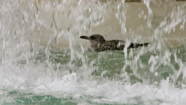 Eine M�we im Brunnen auf der Piazza Venezia in Rom (Bild: ANDREAS SOLARO/AFP/picturedesk.com)