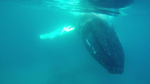 """Der """"Walflüsterin"""" Saskia Kißler ist diese beeindruckende Unterwasseraufnahme gelungen. (Bild: Saskia Kißler)"""
