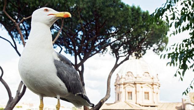 Plage: Aggressive M�wen machen Rom zu schaffen (Bild: thinkstockphotos.de)