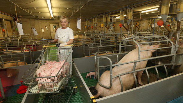 Ein optimiertes System: Ferkel, deren Mütter zu wenig Milch haben, kommen zu anderen Sauen. (Bild: Jürgen Radspieler)