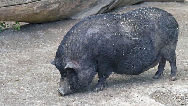 Dobratsch: Schweinchen werden nun umgesiedelt (Bild: thinkstockphotos.de (Symbolbild))