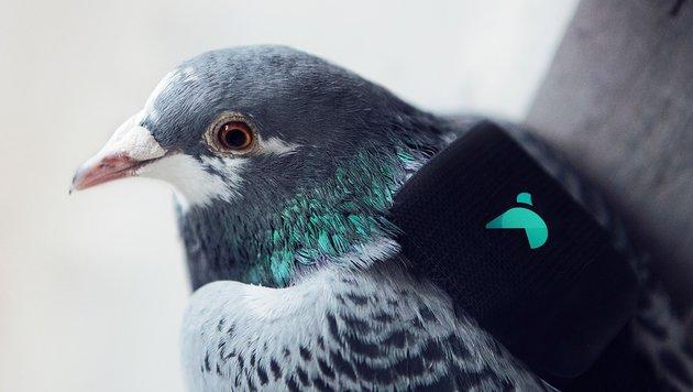 """Tauben gehen in London auf """"Luftpatrouille"""" (Bild: AFP)"""