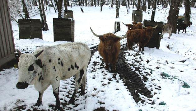 Wer hat ein Herz für diese Rinderherde? (Bild: zVg)