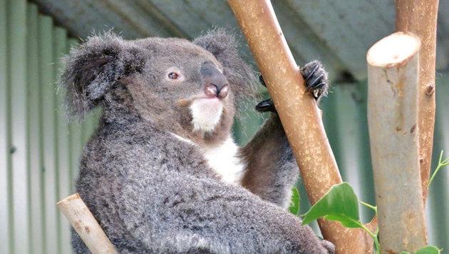 Auch in Australien gibt es Koalas. (Bild: Eva Lehner)