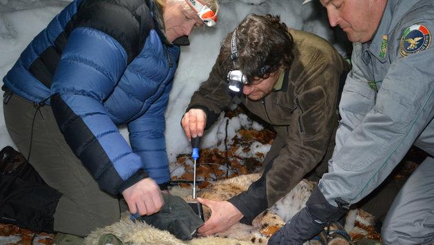 Die erfahrenen Wildbiologen untersuchten den Luchs und legten ihm dann ein Sendehalsband an. (Bild: Corpo Forestale)