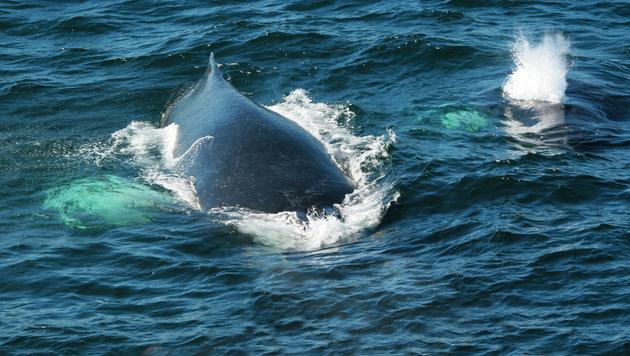 Japans Waljäger kehrten aus Antarktis zurück (Bild: thinkstockphotos.de)