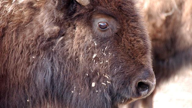 Falsche Fürsorge kostet Bison-Junges das Leben (Bild: AP)