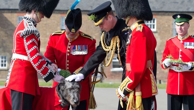 Prinz William streichelt den Regiments-Wolfshund der Irish Guards am St. Patricks Day. (Bild: AFP)