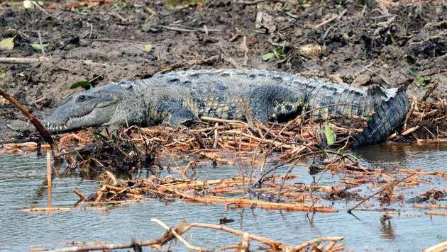 Indonesien: Urlauber von Krokodil zerfleischt (Bild: APA/AFP/ELIZABETH RUIZ (Symbolbild))