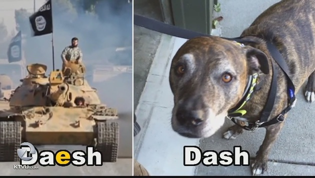 """Pitbull """"Dash"""" löste in den USA Terroralarm aus (Bild: KTVU)"""