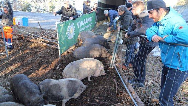 21 Hängebauchschweine vom Dobratsch sind umgezogen (Bild: Evelyn Hronek)