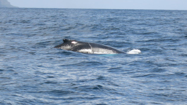 Von Jänner bis März kommen Tausende Buckelwale in die Bucht von Samaná. (Bild: dez)