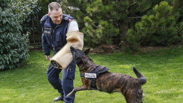 """""""Ruby"""" ist Familien- und Polizeihund. Gut zwei Jahre ist sie an Oberauners Seite noch im Dienst. (Bild: Markus Tschepp)"""