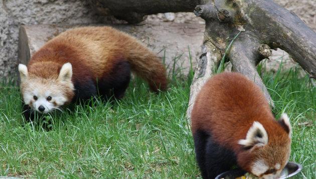 Roter Panda trifft neue Partnerin in Salzburg (Bild: Zoo Salzburg)