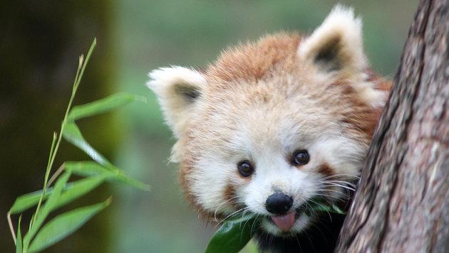 Roter Panda trifft neue Partnerin in Salzburg (Bild: APA/ZOO SALZBURG)