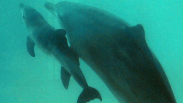 """Deepwater Horizon"" schuld an Delfin-Sterben (Bild: APA/AFP/BAY ISMOYO)"