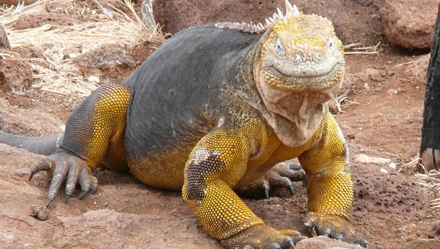 Leguan auf Galapagos überfahren: 13.000 € Strafe (Bild: wikipedia.com)
