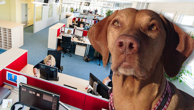 "Redaktionshündin ""Snoopy"" wacht über den ""Krone""-Newsroom. (Bild: Richard Schmitt, Andreas Graf)"