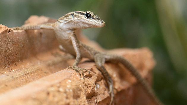 ... die Weibchen hingegen graubraun mit drei hellen Längsstreifen. (Bild: APA/DANIEL ZUPANC)