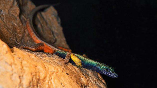 Die Männchen sind bunt gefärbt wie ein Regenbogen... (Bild: APA/DANIEL ZUPANC)