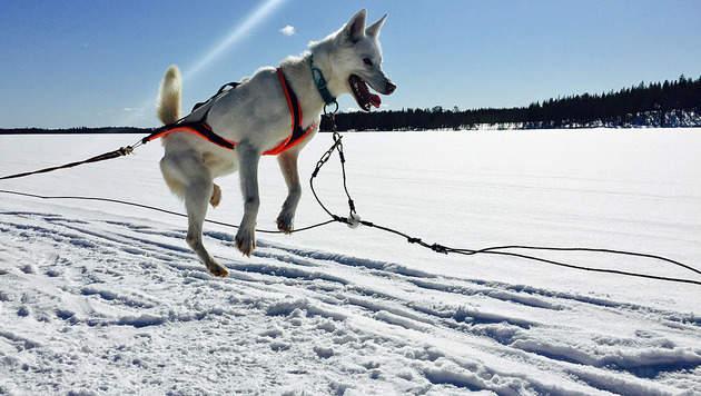 Hinter Huskys quer durchs wilde Lappland (Bild: Charlotte Sequard-Base)