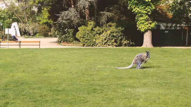 """Känguru"" im Wiener Stadtpark war Werbeaktion (Bild: Leserreporter)"