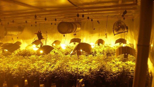 Diese Drogenplantage wurde in der Wohnung gefunden. (Bild: unbekannt)